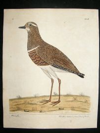 Albin: 1730's Hand Colored Bird Print. Hen Dotteril